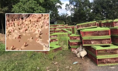 Nearly 4000 Chickens Burred Alive in Southern Thailand