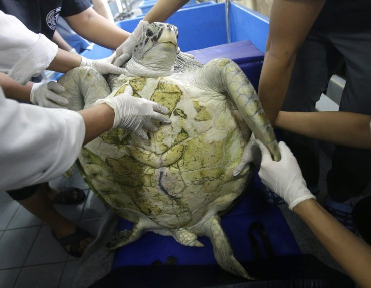 Veterinarians Remove 915 Coins from Green Sea Turtles Stomach