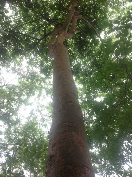La corteza del árbol de mulato sirve como remedio para la tifoidea y los nacidos. Foto: Isaín Mandujano/ChiapasPARALELO