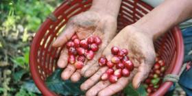 En la cosecha 2013 los productores de CESMACH obtuvieron 18 mil quintales de café, de los cuales 16 mil 500 quintales se destinaron al mercado internacional, principalmente Estados Unidos, Japón y Europa. Foto: Ángeles Mariscal