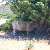 Une vache-arbre?