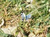 Un des papillons bleus
