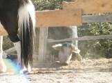Un cochon derrière les poneys.