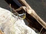 Des libellules qui... profitent de la vie