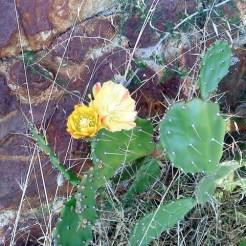 Fleur de figuier de barbarie