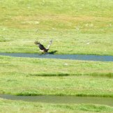 Un aigle pêche la truite