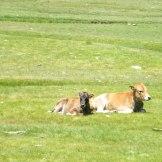 Des vaches couchées dans la vallée