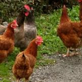 Les poules au couvent