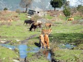 Ici les vaches ont pris possession des lieux
