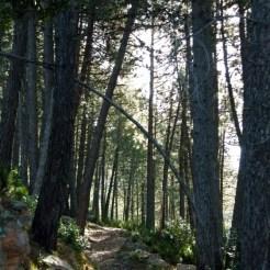 Promenade sous les pins