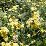 Le sol est tapissé de fleurs jaunes