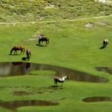 Des chevaux en liberté au milieu des pozzi