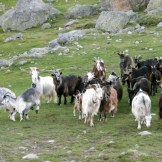 Les chèvres arrivent!