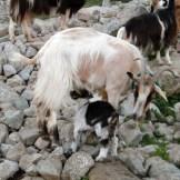 Le cabri a retrouvé sa maman