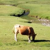 Une vache sur les pozzi