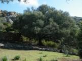 Un olivier énoooorme!