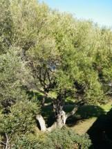 Un bel olivier dans les jardins de l'enceinte