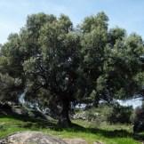 Un bel olivier