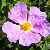 Du ciste violet