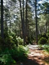 Dans la forêt de pins