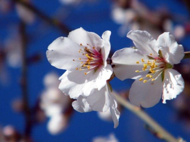 Une fleur d'amandier