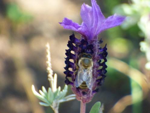 Une lavande et une abeille