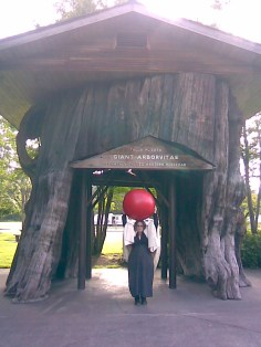 Annie with big red ball by giant Western Red Cedar stump in rest area on I-5