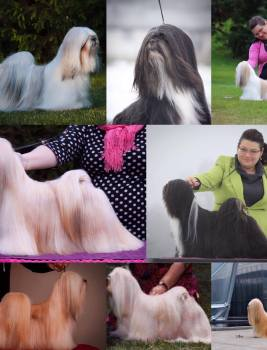 Historical lhasa apso puppies expected
