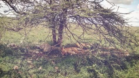 Lions slumbering at Mikumi National Park, Tanzania
