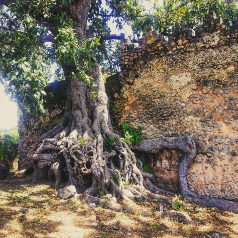A Tree overtakes the wall of the great mosque of Kilwa, Tanzania