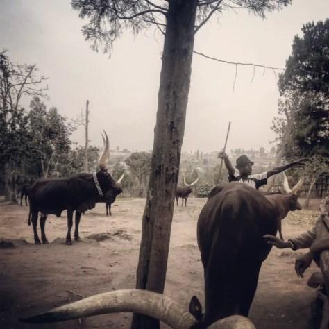 A Herdsman & Cows at The King's Palace Museum in Nyanza, Rwanda