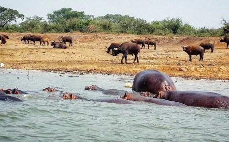 Hippos on the shores of the Kazinga Channel, Uganda