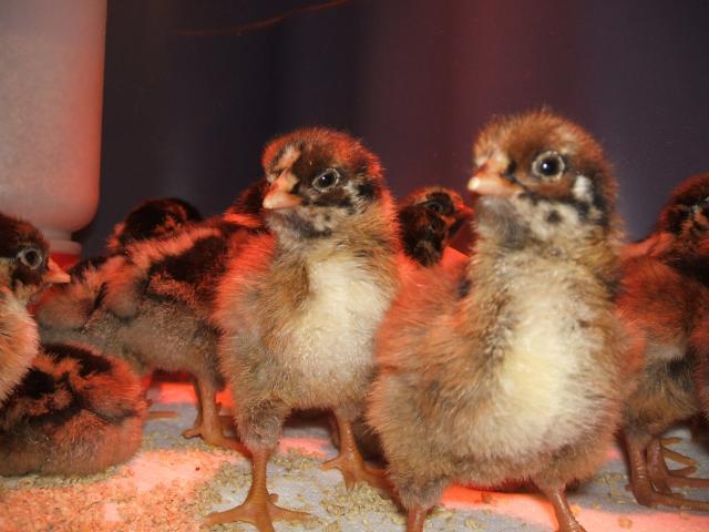 Chicken Chicks Pattern