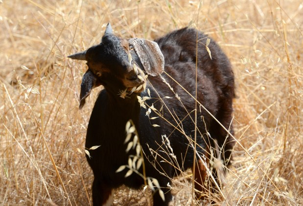 Grazing goats move to Foothill Park East in Chico