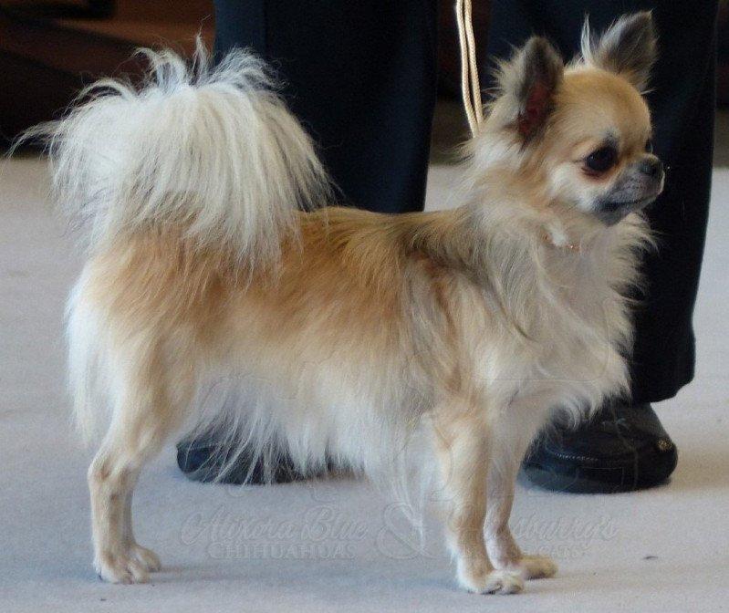 chihuahua poil long look sante