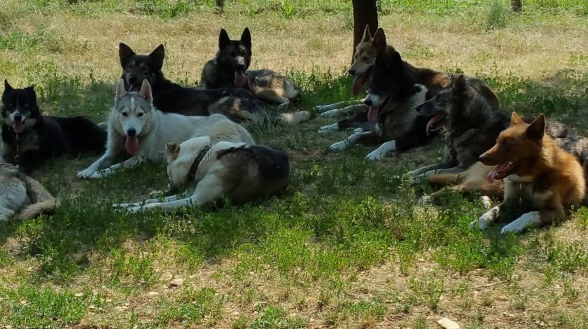 chiens de traineau pendant la canicule