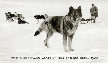Chiens nordiques, histoire et évolution des chiens de traineau