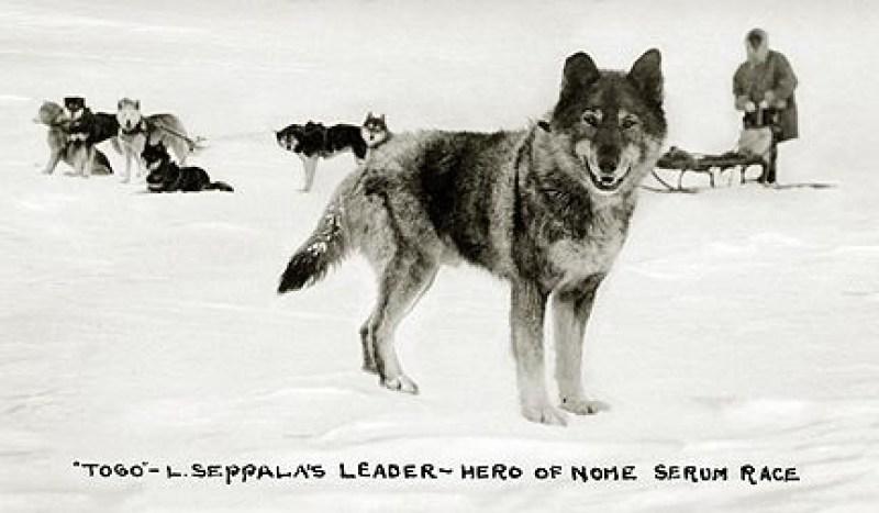 Le husky de sibérie ou husky sibérien Mush and Rando