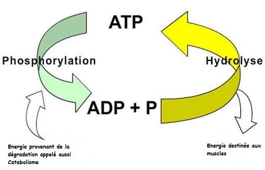 Adénosine Triphosphate comment est elle fabriquée?