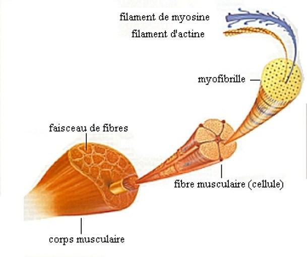 Adénosine Triphosphate le carburant du muscle