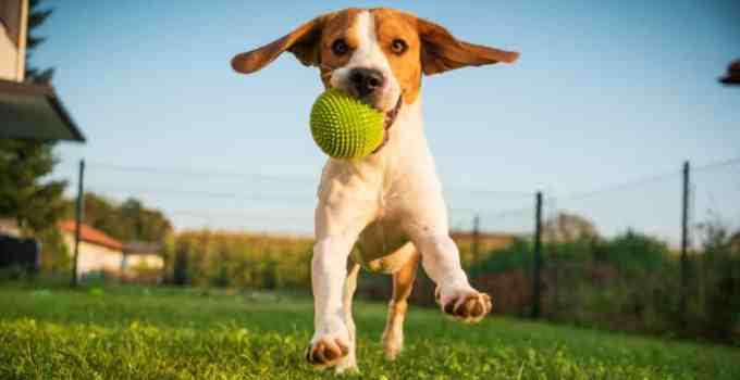 Comment apprendre à son chien à rapporter la balle à son maître