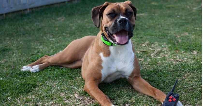 dresser un chien au rappel : il est important d'apprendre à son chien un mot clef qui l'incitera à revenir immédiatement