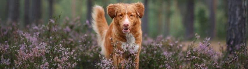 Pourquoi vouloir apprendre le rappel à votre jeune chien adulte ? Il est indispensable d'apprendre le rappel le plus tôt possible !