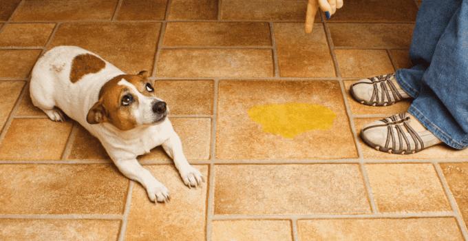 Pourquoi un chien propre devient sale subitement