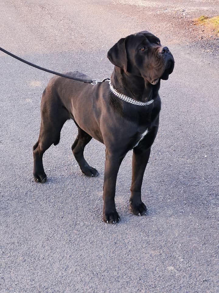 eleveur de chiens cane corso