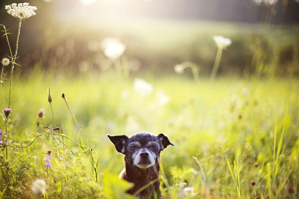 Chihuahua Alter
