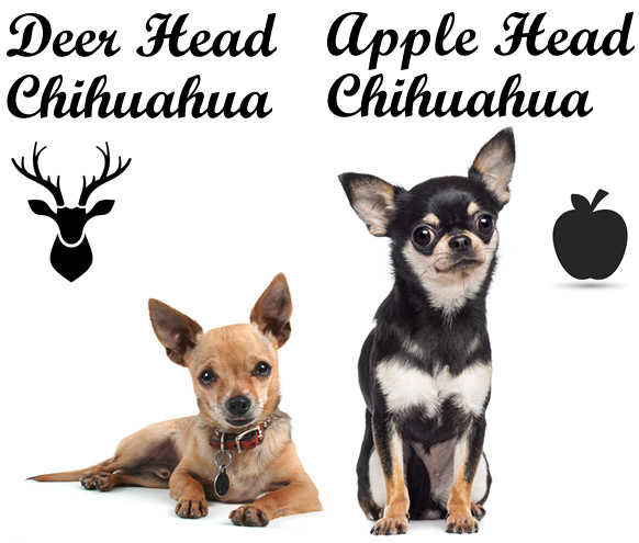 Two types of the Chihuahua