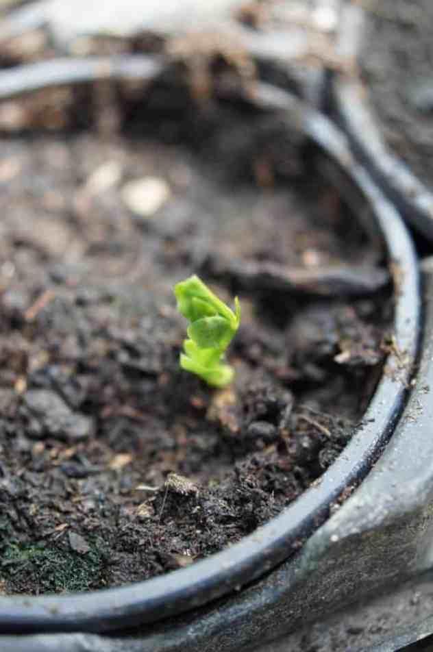 Surami Dry Pea (Trockenerbse)