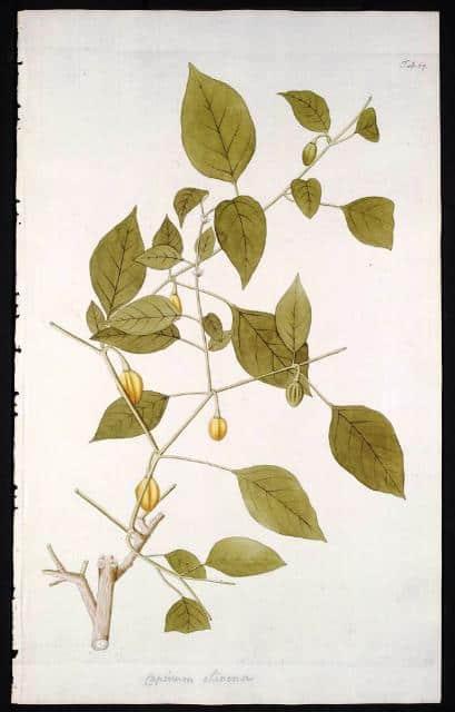 Nikolaus Joseph Freiherr von Jacquin: Hortus Botanicus Vindobonensis