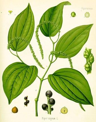 Piper nigrum (aus Koehlers Medizinalpflanzen)